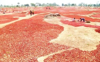 Tomato Glut Hits Kastina Market Price Drops To =N=300 From =N=5,000 Per Basket