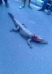 baby crocodile 2