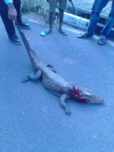 baby crocodile 3
